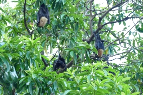 Speckled Flying Fox fruit bat of Cairns