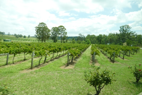 The vineyard at Mt. Pleasant, NEw South Wales, Australia