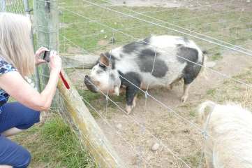 Judy snapping a shot of the pigs at the Tin Shed