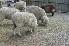 The merino sheep at the Wrinkley Rams