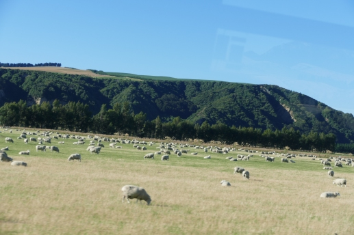 Abundance of Merino sheep-taken from bus
