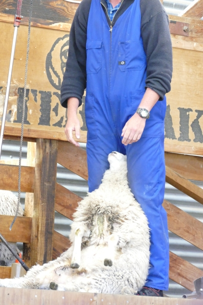 Getting the sheep stabilized for shearing