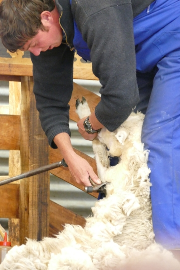 Shearing the lamb