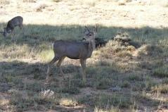 Bryce Mule Deer
